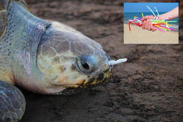 Chú rùa biển bị thương khi hít phải ống hút nhựa